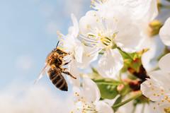Bee pollinates a cherry blossom