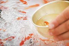 お祭りの金魚すくい / Gold fish Scooping