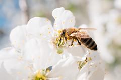 Biene bestäubt eine Kirschblütte