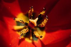 Parts of a tulip flower. Pistil and stamen