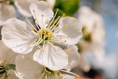 Extreme close-up of cherry blossom