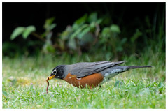 robin, worm