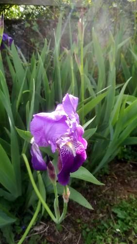 fleur d'iris violet