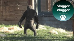 Gorilla Lope Walking For Twycross Zoo Fundraiser