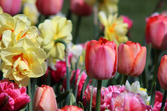 Tulips and narcissus