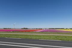 Noord-Holland Tulip fields