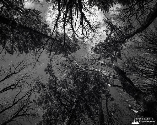 Up Through the Forest Canopy, Kopachuck State Park, Washington, 2020
