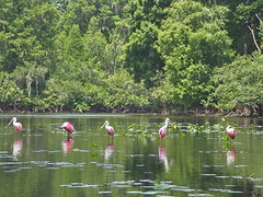 Spoonbills in a Row