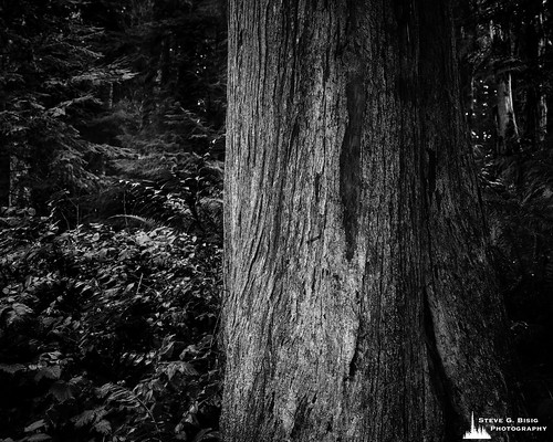 Cedar Tree, Kopachuck State Park, Washington, 2020
