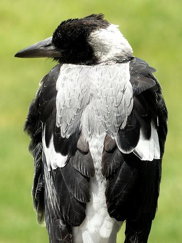 Australian magpie, female (4)