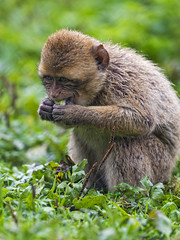 Macaque eating salad