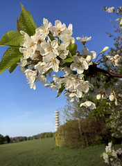 Purdown Tower and Blossom