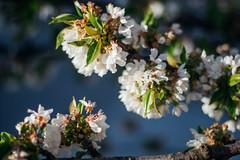 Kirschblütten und bleuer verschwommener Hintergrund