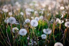 Dandelion field during sunset
