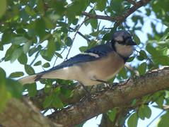 Blue Jay, Story Park, Allen, Texas, April 25, 2020