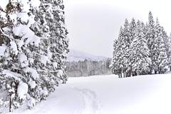 Snowy cedar trees