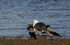 Great black-backed gull, Larus marinus, Havstrut