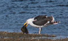 Seafood - Great black-backed gull, Larus marinus, Havstrut