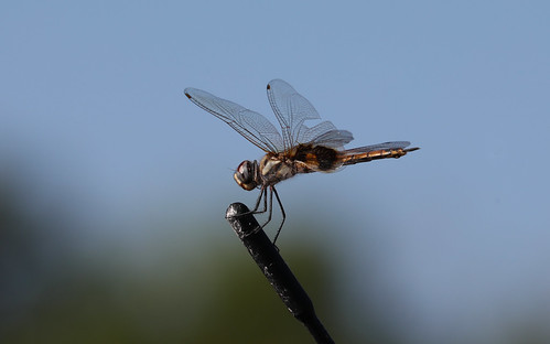 Dragonfly on top of a car antenna, Palmerston, Northern Territory, Australia.