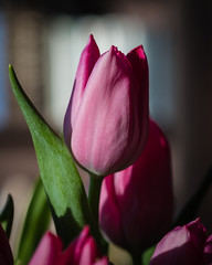 Tulip 4/26/20