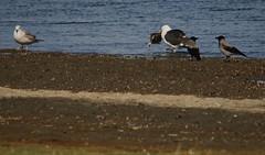 Great black-backed gull, Larus marinus, Havstrut - with plaice in beak