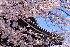 Kichijōji temple's sakura