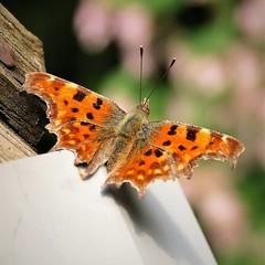 Comma Butterfly, (Polygonia c album).2.    Panasonic DMC-FZ1000, P1280523