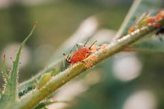 Blattläuse unterschiedlichen Alters auf einer Pflanze