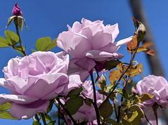 More Lavender Roses