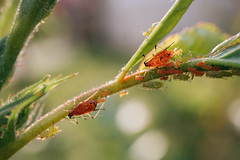 Plant infested with aphids