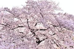 Sakura in the sunlight