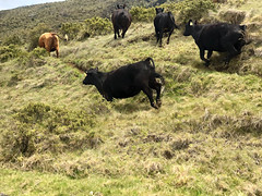Running Cattle