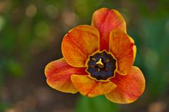 Tulip in Evening Sun