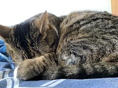 Sleepy Amelia #cat