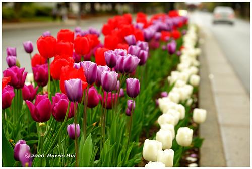 Sidewalk Tulips - Westminster Hwy XT8850e