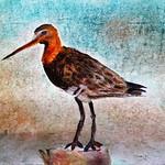 Godwit by Kathryn Hollingworth