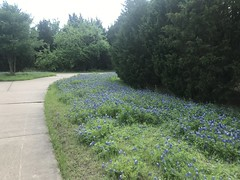 More Bluebonnets