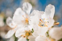 Betrachten von wunderschönen Kirschblütten als Nahrung für die Seele