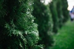 Rain drops on green fir in the garden.