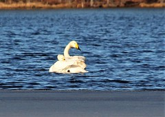Two swans,,