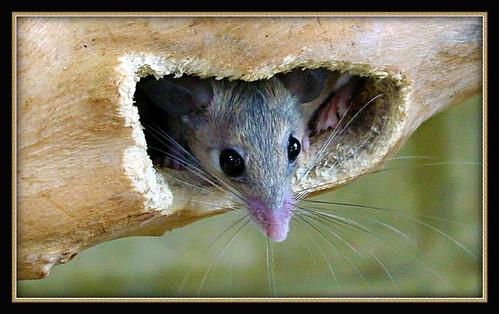 2217 Desert Mouse Dsc06111