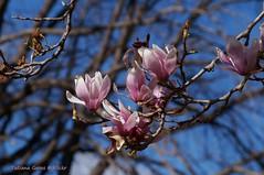 Magnolia in Orange, NSW