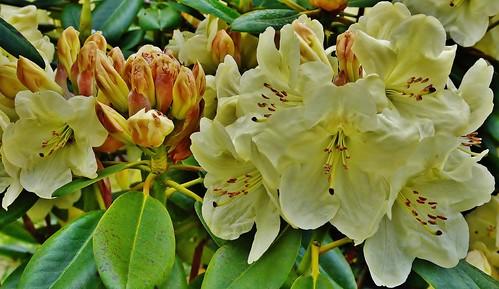 Rhododendron-Hybride  - 'Goldkrone'