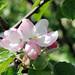 (13) image - Apple blossom
