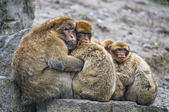 A family of macaques