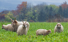 Sheep in the dairy