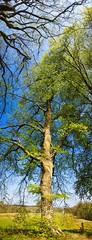 ... when one tree merges into the other tree | 27. April 2020 | Belau - Kreis Plön - Schleswig-Holstein - Germany