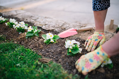 Gardener hands planting a flower in the ground