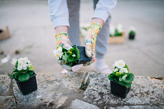 Gardener's hands with colorful protective gloves planting.