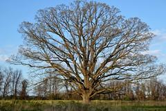 Peacock_Tree (2)